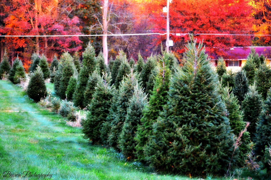 millers christmas tree farm millers christmas tree farm about